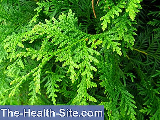 Thuja Occidentalis: Effects And Indications 💊 Scientific-Practical