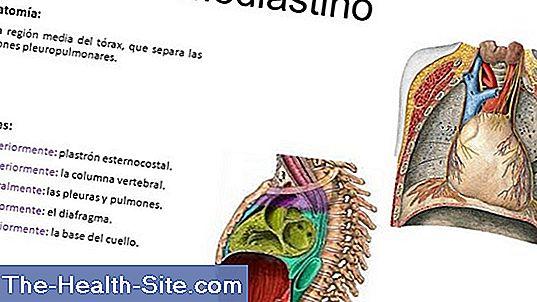 Mediastino: Función, Anatomía, Enfermedades 💊 Científico-Práctico ...