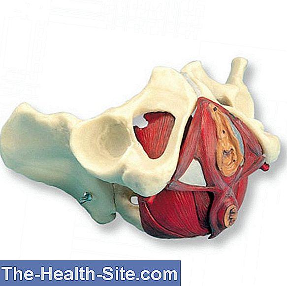 Pelvis: Función, Anatomía Y Enfermedades 💊 Científico-Práctico ...