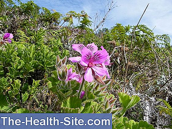 Cape pelargonium