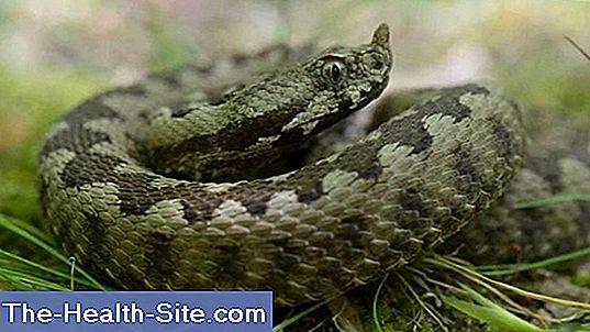 Ce să faci cu o mușcătură de șarpe? Mușcături otrăvitoare de șarpe Prevenirea mușcăturilor de șarpe