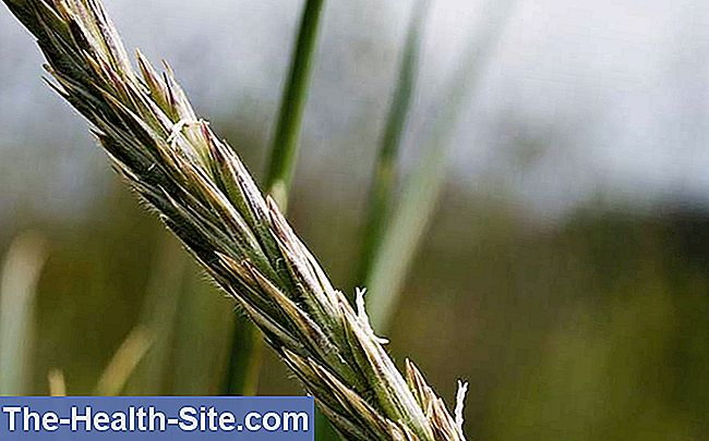 Wheatgrass (elymus repens)
