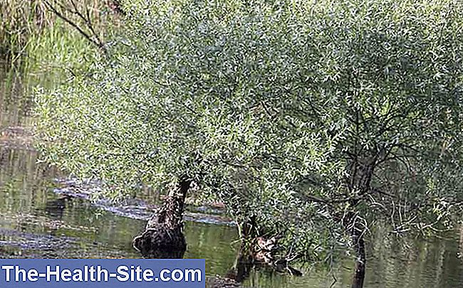 Willow, pilbark (salix-arter)