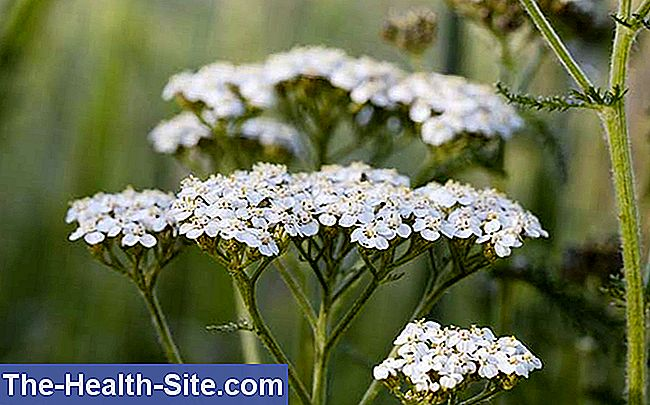 Jarrow, common commonweed (achillea millefolium)