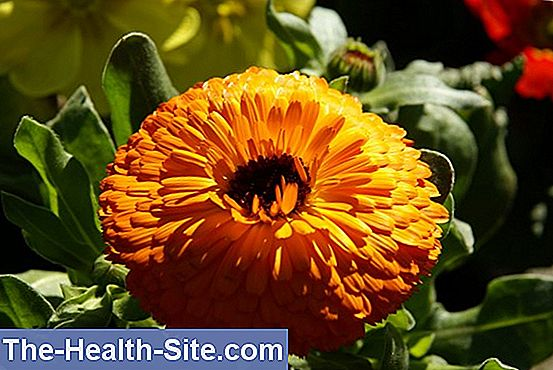 Marigolds (calendula officinalis)