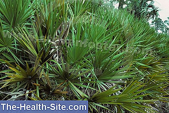 Saw palmetto (serenoa repens, sabal serrulata)
