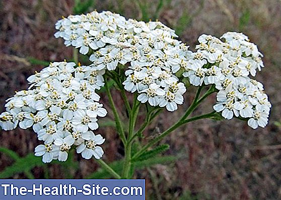 Yarrow, common yarrow (achillea millefolium)